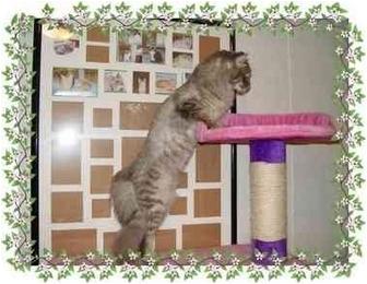 Maine Coon Cat for adoption in KANSAS, Missouri - Freddie