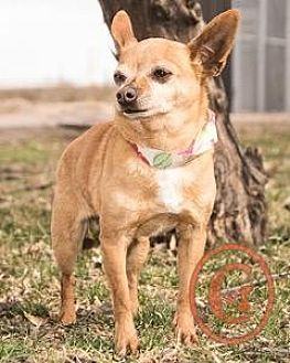 Chihuahua Mix Dog for adoption in Evergreen, Colorado - Nugget goes w/Tinkerbell - courtesy listing