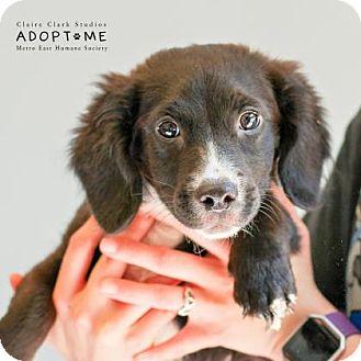 Labrador Retriever Mix Puppy for adoption in Edwardsville, Illinois - Potato