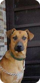 Boxer/Labrador Retriever Mix Puppy for adoption in Corona, California - Candy
