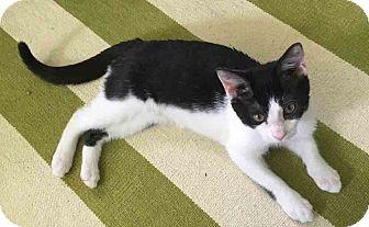 Domestic Shorthair Kitten for adoption in Gaithersburg, Maryland - Sundae