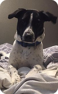 Dalmatian Mix Dog for adoption in ST LOUIS, Missouri - Kampbell