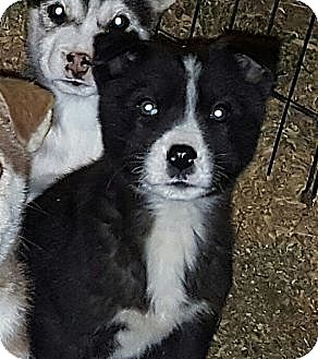 Husky Mix Puppy for adoption in Albany, North Carolina - Suluk