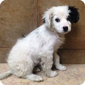 Australian Shepherd/Border Collie Mix Puppy for adoption in Oswego, Illinois - Paisley