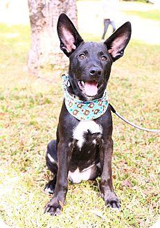 Labrador Retriever/Shepherd (Unknown Type) Mix Puppy for adoption in Castro Valley, California - BoBo