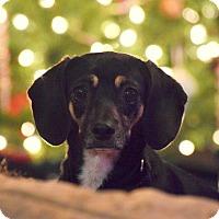 Adopt A Pet :: DIONE (Dee Dee) - Higley, AZ