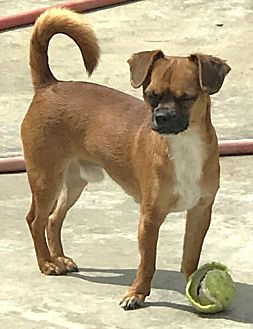 Pug/Chihuahua Mix Puppy for adoption in Costa Mesa, California - Timmy