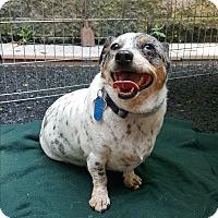 Adopt A Pet :: Cayden - Pottsville, PA