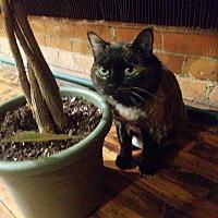 Calico Cat for adoption in Westland, Michigan - Bearibow