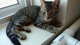Domestic Shorthair Kitten for adoption in South Amana, Iowa - Milo