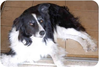 Border Collie Dog for adoption in Glenrock, Wyoming - Molli