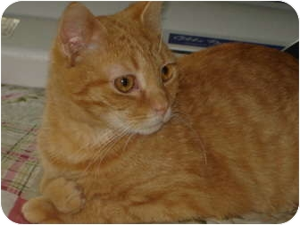 """Domestic Shorthair Cat for adoption in Chesapeake, Virginia - Cabot """"Peach Baby"""""""