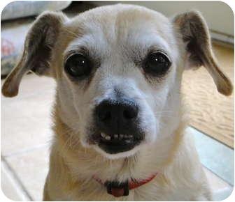 Chihuahua/Dachshund Mix Dog for adoption in Atlanta, Georgia - Petey