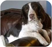 English Springer Spaniel Mix Dog for adoption in Okotoks, Alberta - Jimmy