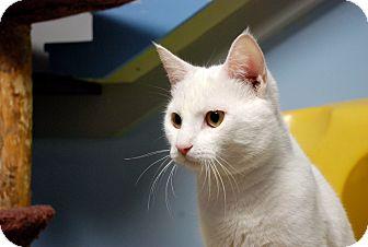 Domestic Shorthair Kitten for adoption in Chicago, Illinois - Hiryla