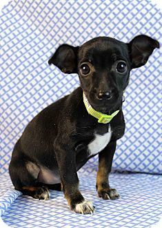 Dachshund/Chihuahua Mix Puppy for adoption in Westminster, Colorado - Flounder