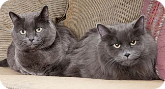 Russian Blue Cat for adoption in Chicago, Illinois - Mindy & Minxy
