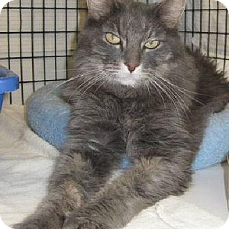 Domestic Longhair Cat for adoption in Denver, Colorado - Jeffrey