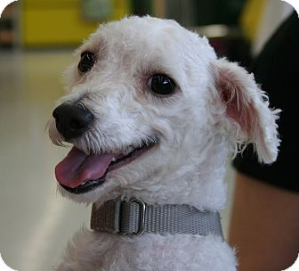 Poodle (Toy or Tea Cup)/Maltese Mix Dog for adoption in North Olmsted, Ohio - Edward
