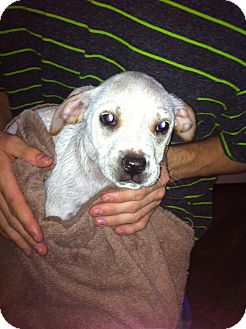 Labrador Retriever Mix Puppy for adoption in Hopkinsville, Kentucky - D.O.G