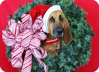 Bloodhound Dog for adoption in Princeton, Kentucky - Sheba