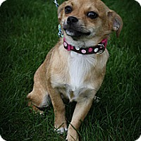 Adopt A Pet :: Hazel - Broomfield, CO