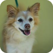 Pomeranian/Papillon Mix Dog for adoption in Boca Raton, Florida - Loopy