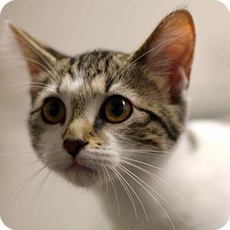 Domestic Shorthair Cat for adoption in Craig, Colorado - Kittens