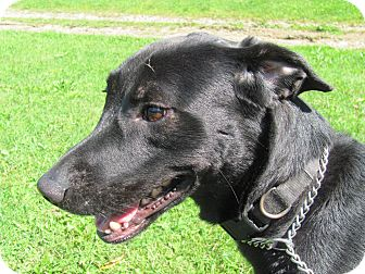 Labrador Retriever Mix Dog for adoption in Coudersport, Pennsylvania - JACK