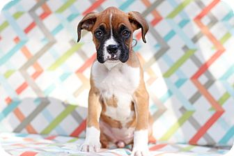 Boxer Puppy for adoption in Auburn, California - Baby