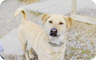 Labrador Retriever Mix Dog for adoption in High River, Alberta - Kosmo