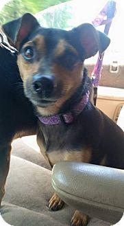 Miniature Pinscher/Dachshund Mix Dog for adoption in Blue Bell, Pennsylvania - Sauske