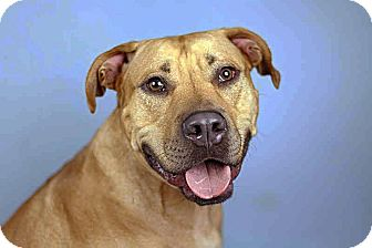 American Bulldog/Redbone Coonhound Mix Dog for adoption in Homestead, Florida - RED