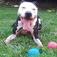 Pit Bull Terrier Mix Dog for adoption in Va Beach, Virginia - Petey