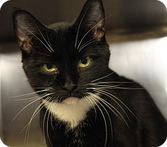 Domestic Shorthair Cat for adoption in Marietta, Ohio - Lucy