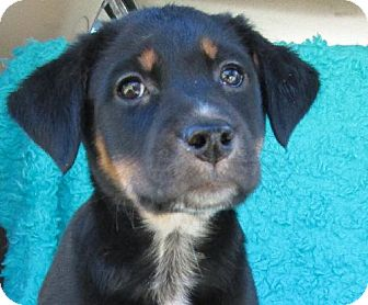 Australian Cattle Dog/Labrador Retriever Mix Puppy for adoption in Waldron, Arkansas - ALEXIS