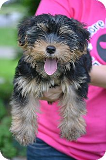 Yorkie, Yorkshire Terrier Mix Puppy for adoption in Hagerstown, Maryland - Simba