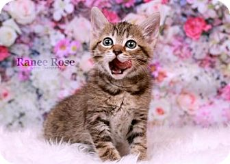 Domestic Shorthair Kitten for adoption in Sterling Heights, Michigan - Rogue