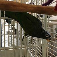 Adopt A Pet :: Squeak - Punta Gorda, FL