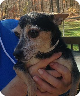 Chihuahua/Yorkie, Yorkshire Terrier Mix Dog for adoption in Bridgewater, New Jersey - Cubbie