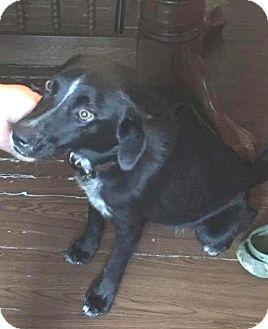 Labrador Retriever/Pointer Mix Dog for adoption in Conesus, New York - Dixie