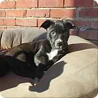Adopt A Pet :: Noel - Emmett, MI