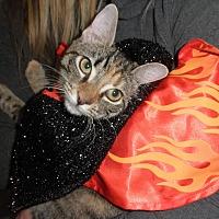 Domestic Shorthair Kitten for adoption in Highland Park, New Jersey - Flyin Funny Bones