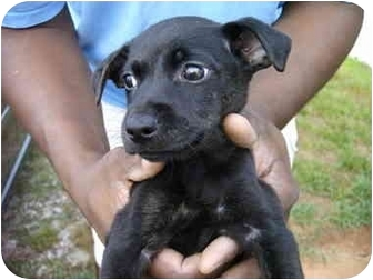 Chihuahua/Rat Terrier Mix Puppy for adoption in Charleston, South Carolina - Swizzle(adopted)