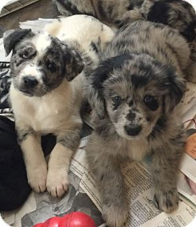 Australian Shepherd Mix Puppy for adoption in KITTERY, Maine - AUSSIE DUO