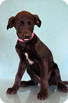 Labrador Retriever Mix Puppy for adoption in Waldorf, Maryland - Midnight Oil