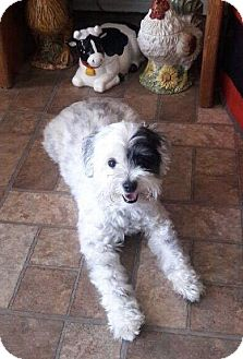 Maltese/Poodle (Miniature) Mix Dog for adoption in Rancho Santa Fe, California - Dulche