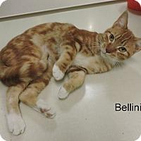 Domestic Shorthair Cat for adoption in Slidell, Louisiana - Bellini