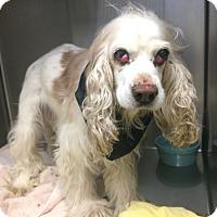 Adopt A Pet :: Poochie-ABANDONED AT 14:( - Oak Ridge, NJ
