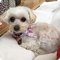 Adopt A Pet :: Bonnie BB - Seattle, WA